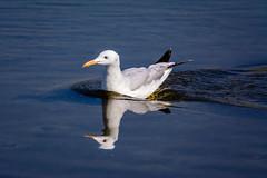 Silver Gull (malc1702) Tags: blue nature water beauty birds gull ngc bluewater silvergull birdswimming nikond7100 tamron150600