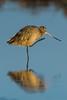 Marbled Godwit (Limosa Fedoa) with an itch - San Diego, CA (bcbirdergirl) Tags: california ca usa reflection sandiego scratch itchy itch oceanpark marbledgodwit xmarksthespot limosa fedoa timboyer timboyerphotographicworkshop sandiegoshorebirds