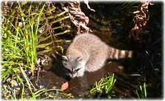 Sawgrass Lake Park -St Petersburg, Florida (lagergrenjan) Tags: park lake st florida petersburg raccoon sawgrass