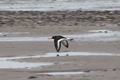 Oystercatchers (NTG's pictures) Tags: sea shells cormorants bay harbour gulls pebbles bae rhyl oystercatchers kinmel cinmel