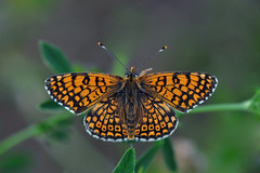 Pearl-bordered fritillary butterfly (Boloria euphrosyne) (natureloving) Tags: nature insect nikon papillon d90 afsvrmicronikkor105mmf28gifed boloriaeuphrosyne natureloving pearlborderedfritillarybutterfly