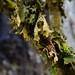 Lobaria pulmonaria on tree
