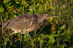 bittern behavior #1 (robertskirk1) Tags: blue bird nature animal memorial florida wildlife american wetlands fl bittern viera ritchgrissom