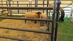 porter county fair. july 2015 (timp37) Tags: county summer sheep july indiana fair porter 2015