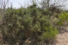 Allthorn (J T Williams) Tags: texas spinosa koeberlinia