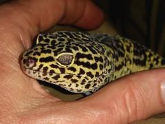 Barney (rstickney37) Tags: lizard gecko leopardgecko