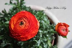 Happy Mother's Day! (Myo-Myo) Tags: flowers orange flower canon eos petals spring ranunculus petal coth canon600d