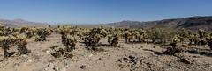 Cactus Garden (p.bieniek) Tags: california park ca street cactus panorama usa tree america garden us am nikon desert joshua outdoor strasse united urlaub von roadtrip national states amerika landschaft wandern wste kalifornien staaten abenteuer vereinigte i d7000