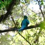 Quetzal in the jungle thumbnail