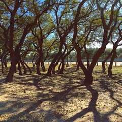 Rivers of Trees (Cesar's iPhoneography) Tags: travel trees plant tree highway texas afternoon shadows grove outdoor branches deadleaves roadtrip reststop dirt craggy restarea southtexas falfurrias lonestarstate txdot mesquitetrees groveoftrees
