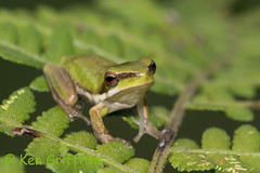 Dwarf Tree Frog 146 5746 (Ken Griffiths - Naturally wild Photography) Tags: dwarf australia litoria fallax