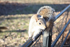 NYC | Squirrel in Central Park (Cats fall on their feet*) Tags: park new york nyc trees winter wild tree cute green love beautiful beauty grass animal animals garden squirrel squirrels manhattan wildlife central 500px ifttt aldasilva