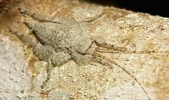 Katydid Nymph (Olcinia or Sathrophyllia sp., Cymatomerini, Pseudophyllinae, Tettigoniidae) (John Horstman (itchydogimages, SINOBUG)) Tags: china macro topf25 insect bush topf50 top cricket camouflage yunnan nymph katydid orthoptera tettigoniidae fbe crypsis pseudophyllinae itchydogimages sinobug
