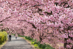 Kawazu Sakura (bamboo_sasa) Tags: pink flower japan cherry spring blossoms 桜 日本 sakura cherryblossoms 花 shizuoka izu 春 kawazu お花見 静岡 伊豆 河津 河津桜