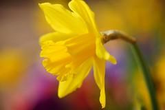 ラッパ水仙/Narcissus pseudo-narcissus (nobuflickr) Tags: flower nature japan kyoto 日本 花 narcissuspseudonarcissus trumpetdaffodil thekyotobotanicalgarden trumpetnarcissus 京都府立植物園 ラッパ水仙 awesomeblossoms ユリ科スイセン属 ラッパすいせん 20160219dsc02115