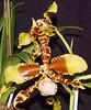 With Open Arms --- Mit offenen Armen --- Con los brazos abiertos (Walkuere123) Tags: plant flower orchids flor orchidaceae blume orquídeas odontoglossum orchideen torontoontario ornamentalplant southernontarioorchidsociety oncidiinae zierpflanze plantaornamental epidendroideae sonyilca77m2 sigmaos105mmf28 odontoglossumrawdonjester