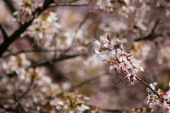 Sakura 2016 (jbilohaku) Tags: flowers canada flores flower vancouver bc britishcolumbia flor cherryblossom sakura canad floro cerezo vankuvero floroj britakolumbio kanado