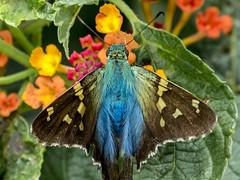 Urbanus viterboana (PriscillaBurcher) Tags: hesperiidae urbanus mariposasdecolombia urbanusviterboana butterfliesfromcolombia l1740762 viterboanalongtail bluishlongtail saltarinacoluda