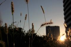 1 (Yorozuna / ) Tags: plant grass silhouette japan tokyo evening weed                 setariaviridis   kawadacho    shinjukuward