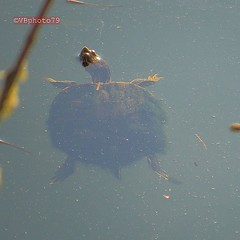 Turtle (vbphoto79) Tags: water turtle delta ponds img1199