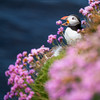 """Singing"" puffin (Premysl Fojtu) Tags: uk pink flowers sea cute bird nature beautiful animal rural canon square island eos 350d coast scotland countryside orkney unitedkingdom wildlife atlantic thrift shore puffin dslr breathtaking seabird seapink rspb westray"