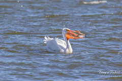 American White Pelican fishing sequence - 13 of 20