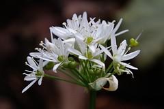 Brlauch (Allium ursinum) (Hugo von Schreck) Tags: flower macro blume makro blte alliumursinum brlauch f13 tamron28300mmf3563divcpzda010 canoneos5dsr hugovonschreck