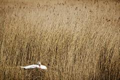 l'abri de la roselire (jf.cudennec) Tags: bird nid reed canon swan nest bretagne printemps oiseau roseaux cygne srping 70d 150600