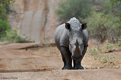 Rhino-dic.2105_8507c (Marco Pozzi photographer (750k+ views, thanks)) Tags: africa southafrica rhino krugernationalpark kruger pozzi rinoceronte whiterhino sudafrica specanimal rinocerontebianco marcopozzi marcopozziphotographer