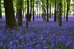 dreamlike woods (C-Smooth) Tags: uk flowers blue trees green nature leaves bluebells landscape countryside spring colours purple outdoor walk colourful magical dreamlikewoods