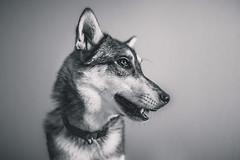 Lyra (Dynamutt) Tags: light portrait dog monochrome studio mixed husky natural indoor malamute siberian breed alaskan