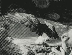 20160116-_DSC8708 (razumichina) Tags: bw bird net zoo eagle
