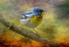 Northern Parula (John Ronson Photography) Tags: textures warbler northernparula brendaclarke jaijohnson shadowhousecreations