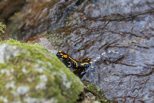 Foltos szalamandra (Salamandra salamandra).