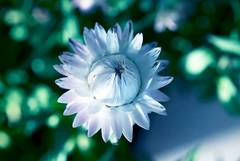 Sponsor me, I feel lonely! (Pensive glance) Tags: plant flower nature fleur plante aster everlasting immortelle