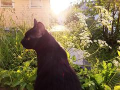 Lugus i motlys (konstruksjon) Tags: katt cat chat gatto katze mishi kedi neko gato chatnoir blackcat
