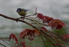 1242-47L (Lozarithm) Tags: birds shrewsbury blip bluetits k50 acers salop 55300 justpentax pentaxzoom hdpda55300mmf458edwr