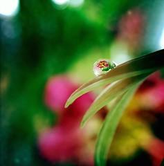 Vivid water drop (jilllian2) Tags: pink flower macro green spring waterdrop colorful vivid daisy jillian flowerwithwaterdrop iphone6s jilllian2
