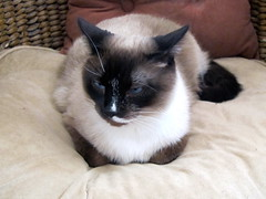 Maddy disgruntled (Catzz1) Tags: portrait snowshoe chair siamese grumpy disgruntled