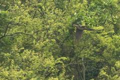 Barred Cuckoo-Dove (Macropygia unchall) (Dave 2x) Tags: dove taiwan matsu cuckoo barred dongyin cuckoodove macropygia leastconcern macropygiaunchall barredcuckoodove unchall