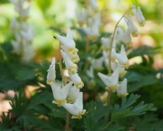 Dutchman's breeches (pilechko) Tags: flowers light color nature pennsylvania wildflower preserve buckscounty bowmanshill