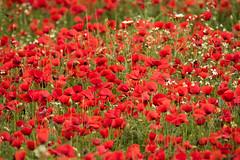 Explosin de Primavera (Paqui Izquierdo) Tags: primavera amapolas
