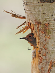 Northern Flicker in nest - 8065b+ (teagden) Tags: wild bird nature photography woodpecker nikon nest wildlife wyoming flicker naturephotography northernflicker birdphotography nestingbird jenniferhall jenhall jenhallphotography jenhallwildlifephotography