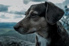 Pensive. (MrF2987) Tags: wild dog pet mountain beagle animal hill dachshund terrier pensive wilderness shallowfocus