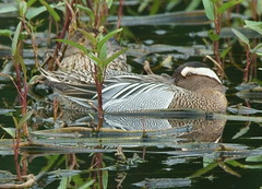 Rest but stay alert (HKwa) Tags: long hong kong valley tamron garganey 白眉鴨 150600 a7r2