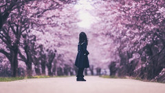 memories of spring (のの♪) Tags: cherry blossom 桜