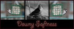 Downy Softness (SavingMemories) Tags: winter ontario canada bird downywoodpecker downy suet backyardfeeder suetfeeder savingmemories suemoffett
