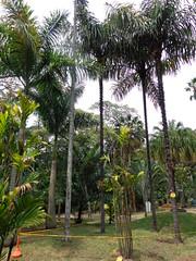 (sftrajan) Tags: colombia palmtrees botany botanicgarden botanicalgarden palmera medellin jardnbotnico  palmetum  jardnbotnicodemedelln jardnbotnicojoaqunantoniouribe botanicalgardenofmedelln medellnbotanicgarden