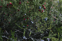 (a-e-m-e) Tags: autumn mountain lake colour nature water field leaves landscape nikon berries australia mount tasmania beech fagus pandani nikond600