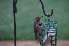 Common Flicker on a Cold Winter Day (Saline Michigan) - April 2, 2016 (cseeman) Tags: cold birds spring backyard woodpecker michigan feeder saline yellowshafted suetfeeder commonyellowshaftedflicker commonflicker commonflicker04022016